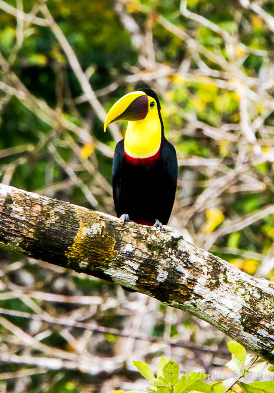 Chestnut-mandibled-Toucan