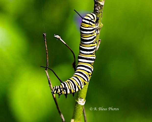 Monarch Butterfly Caterpillar 2