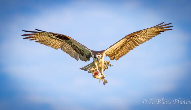 Osprey in Flight with Fish 2