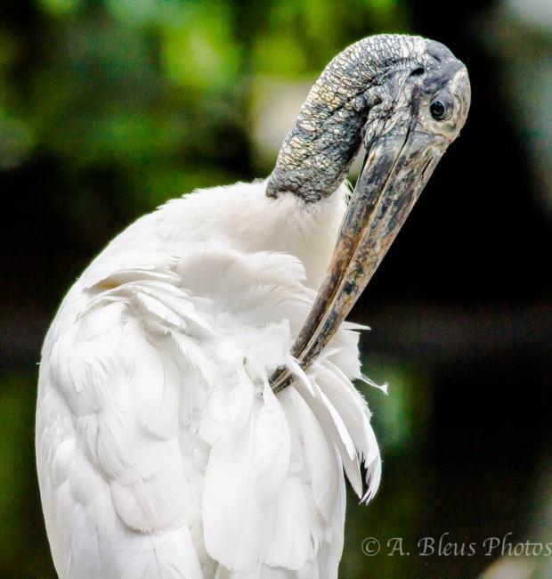 Wood Stork Preening