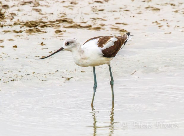 American Avocet, Bosque del Apache, New Mexico