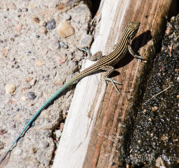 Common Five-lined Skink, New Mexico