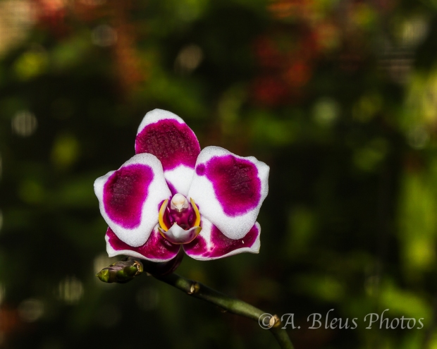 A Purple Spotted or Splotched Phalaenopsis