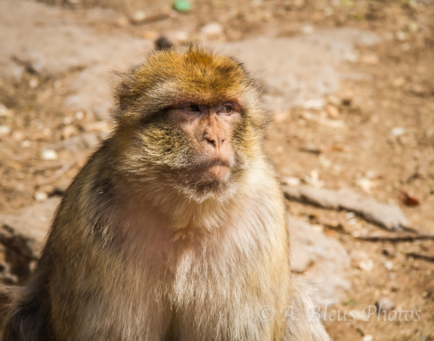 Barbary Macaque, Middle Atlas Mountains,  Morocco
