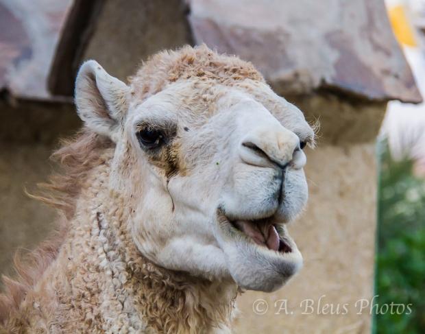 Camel Face, Morocco