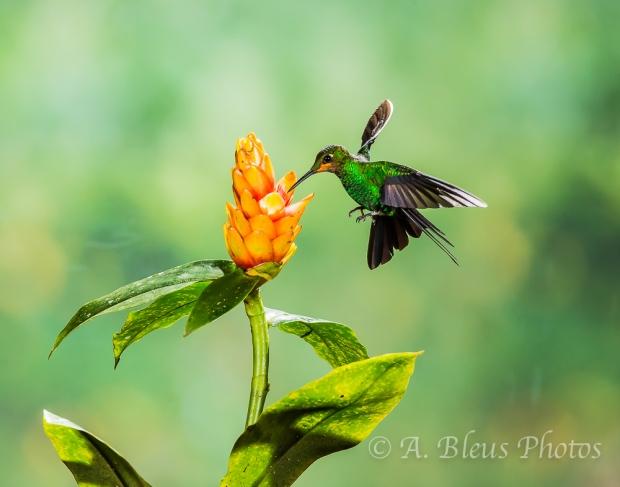Hummingbird feeding on Plant_XOA0045