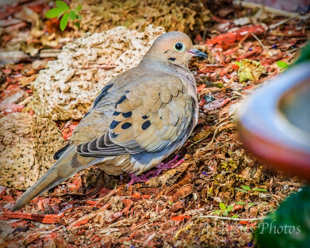 Mourning Dove_4638
