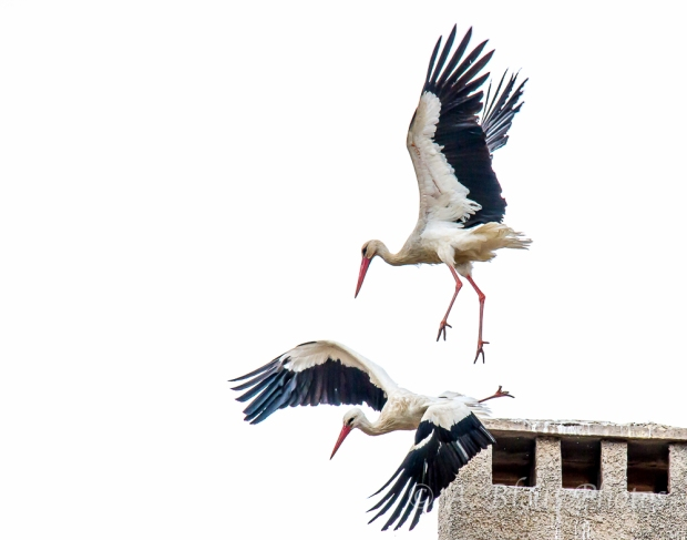 Pair of Storks taking off, Ifrane, Morocco