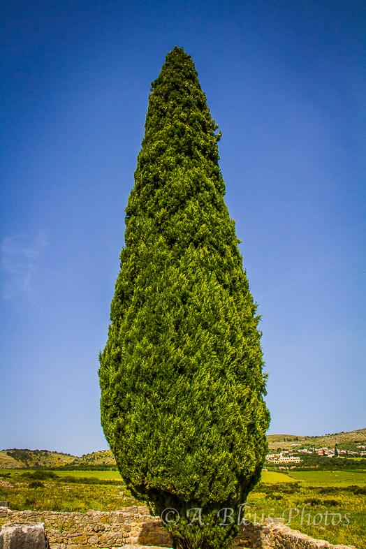 Pine Tree, Morocco
