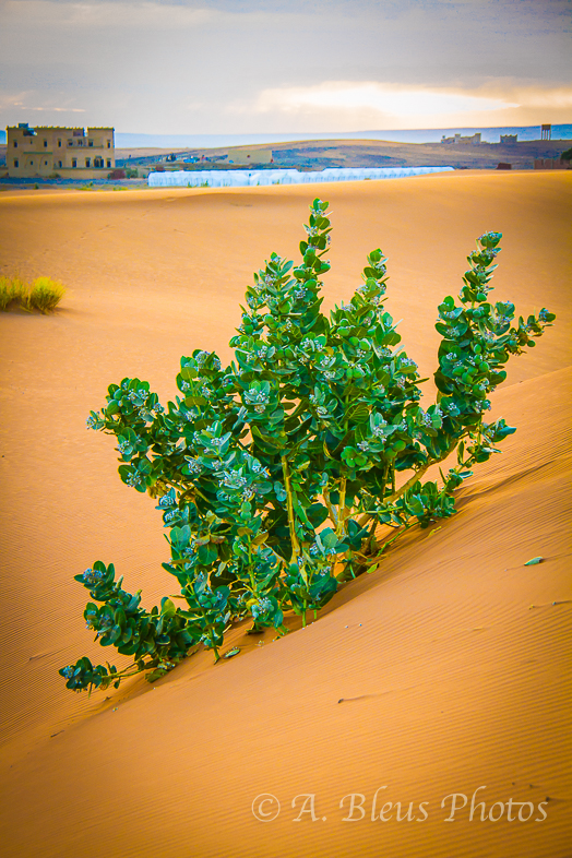 Plant in the Sahara, Morocco