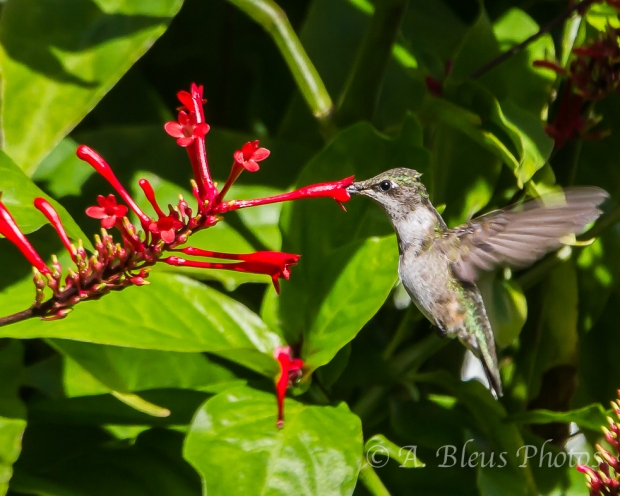 Ruby-Throated Hummingbird _4500