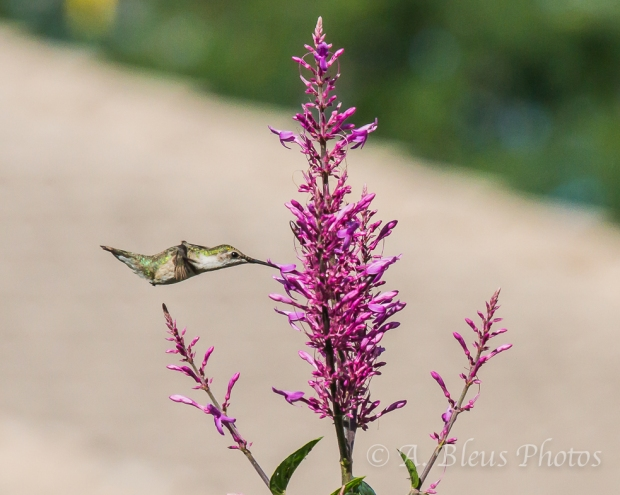 Ruby-Throated Hummingbird _4529