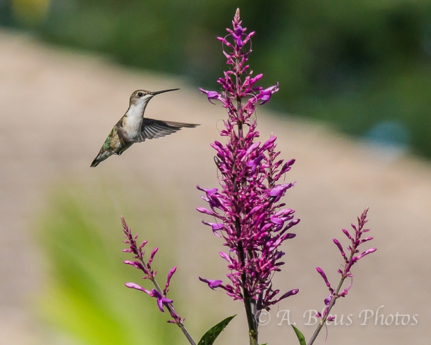 Ruby-Throated Hummingbird _4536