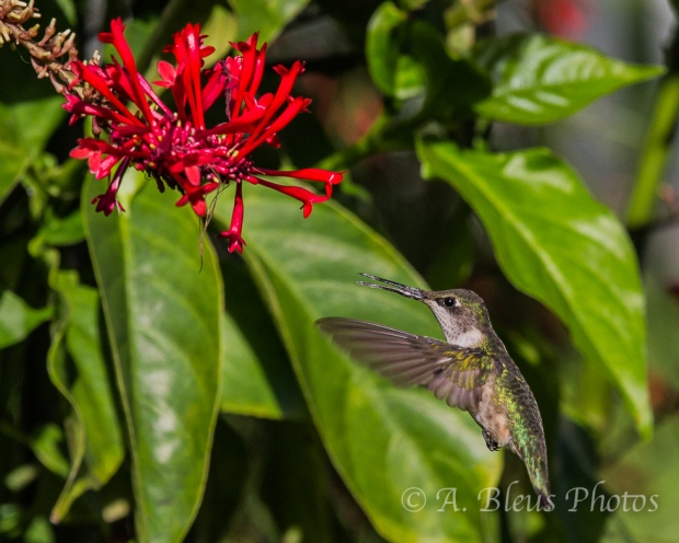 Ruby-Throated Hummingbird _4599