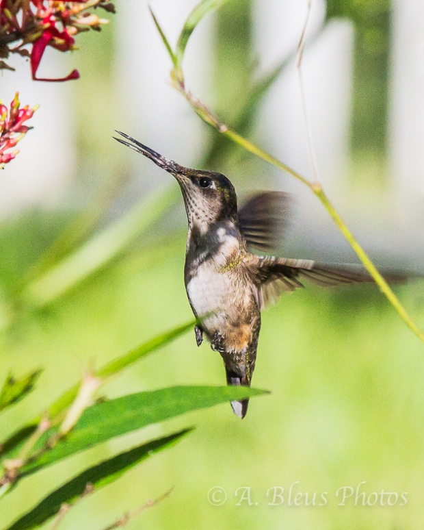 Ruby-Throated Hummingbird _4609