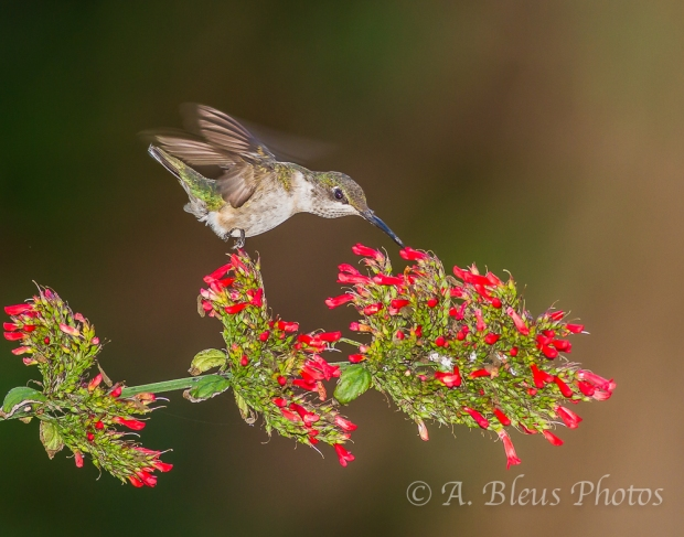 Ruby-throated Hummingbird on Firecracker Plant