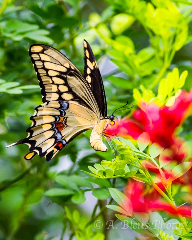Swallowtail Butterfly laying Eggs