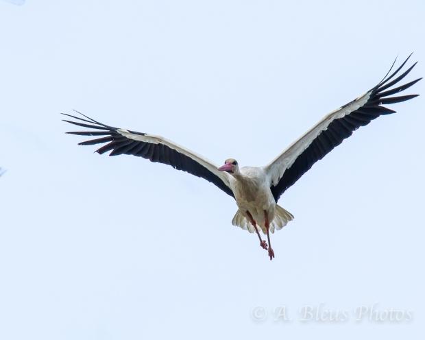 Wood Stork IF, Ifrane, Morocco