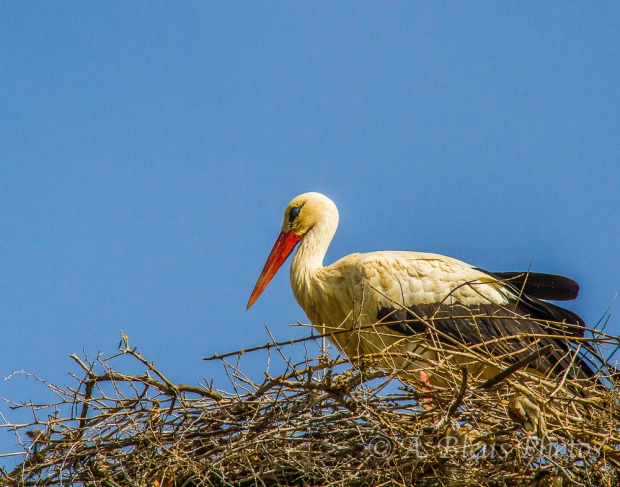 Wood Stork Nest, Rabat,  Morocco