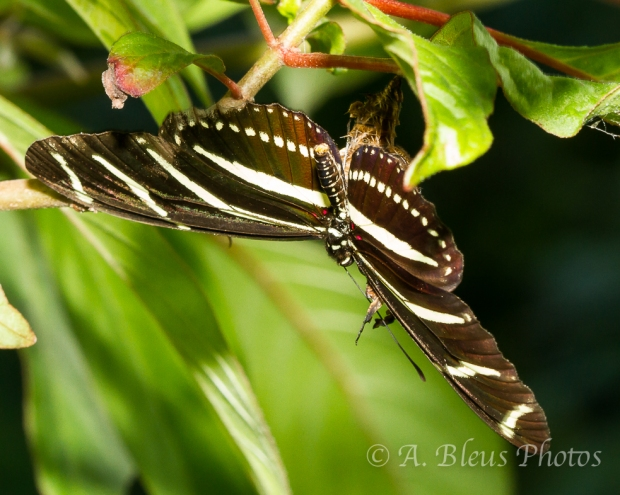 Zebra Longwing Butterfly Emerging