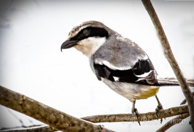 Loggerhead Shrike_2291