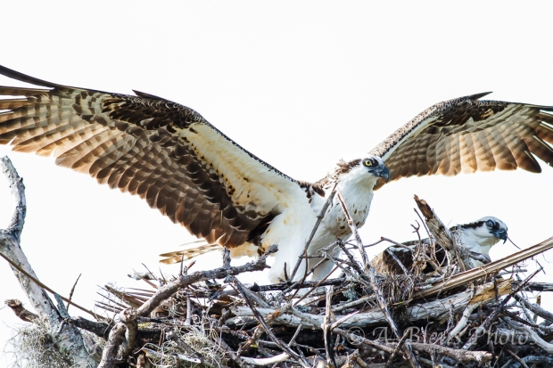 Pair of Osprey in Nest_2460