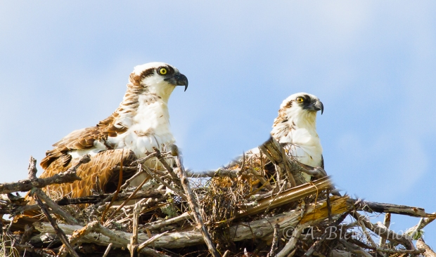 Pair of Osprey in Nest_2479