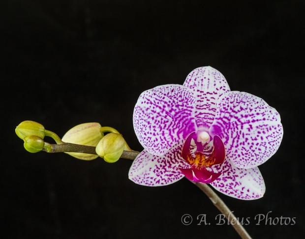 Phalaenopsis Alysha's Dots 'Rosemarie'_6360