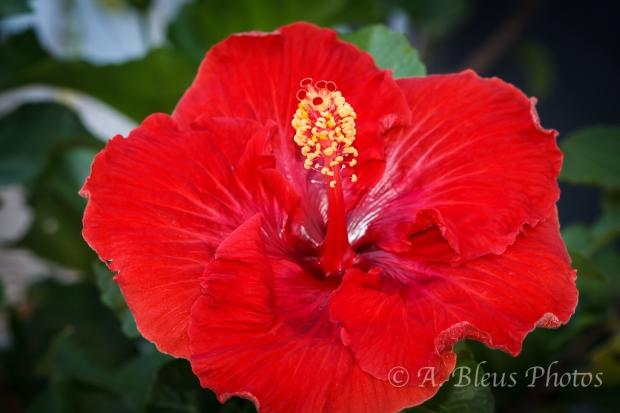 Red Hibiscus_6313