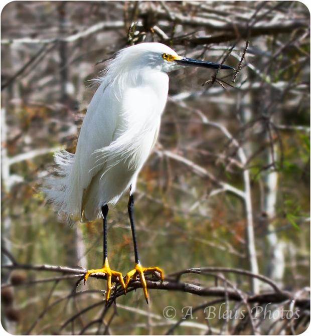 Snowy Egret_2364