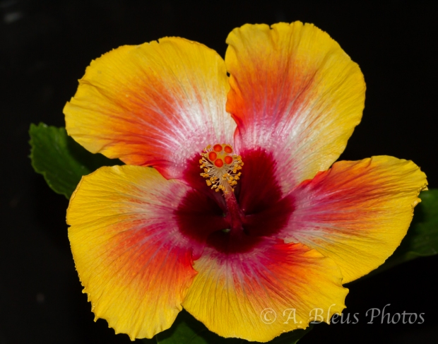 Yellow & Red Hibiscus_1897