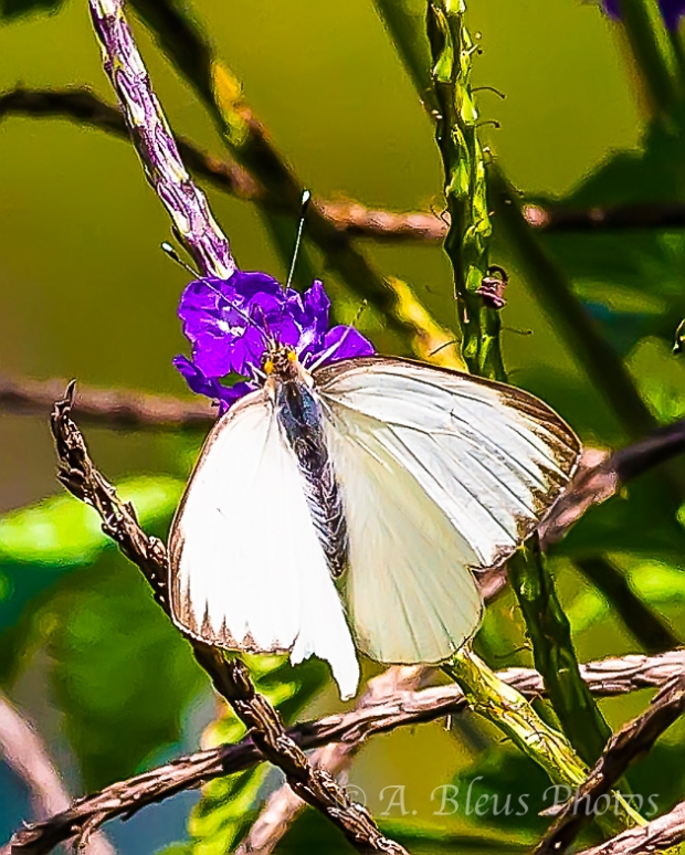 Great Southern White_4861