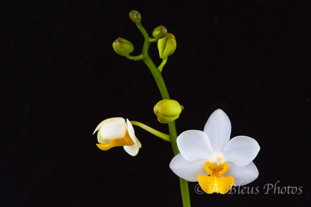 Miniature White Phalaenopsis with Yellow Lip_6771