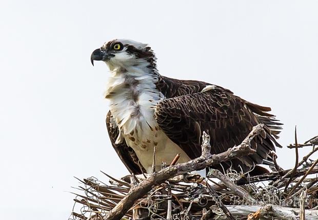 Osprey nesting_2505