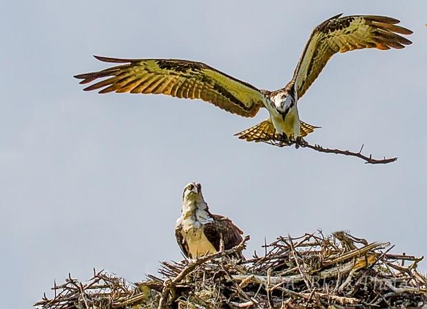 Osprey nesting_2516