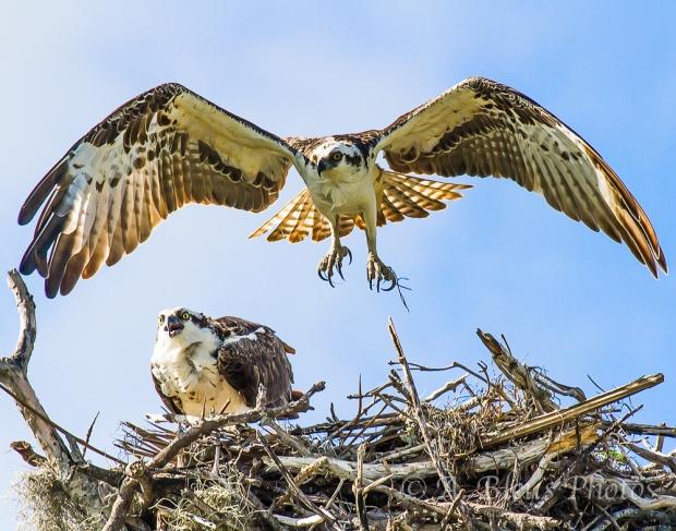 Osprey nesting_2530_