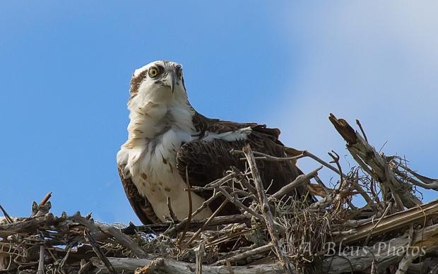 Osprey nesting_2645