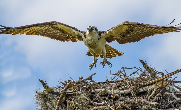 Osprey nesting_2646