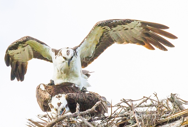 Pair of Ospreys- Love is in the Air_2494