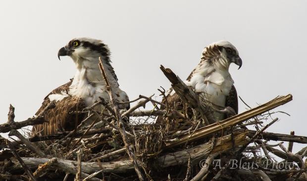 Pair of Ospreys -Where?