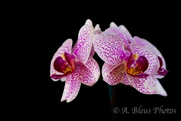 Phalaenopsis Alysha's Dots 'Rosemarie'_6751