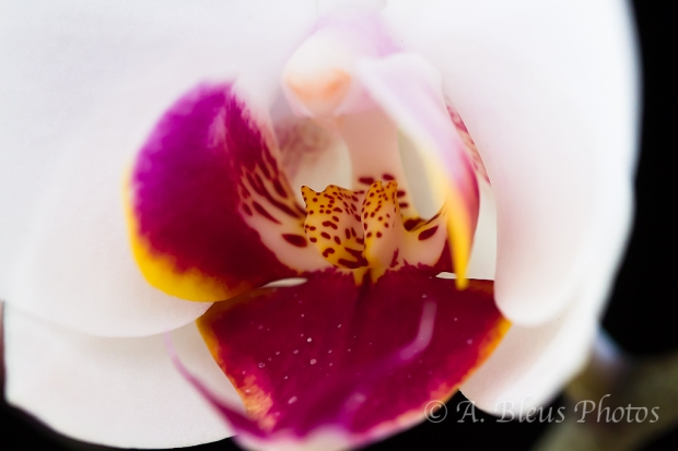 Phalaenopsis Red Lip Macro_6756
