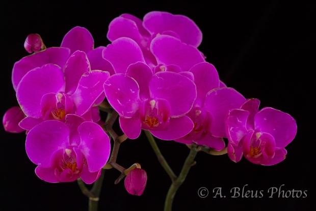 Phalaenopsis_6768