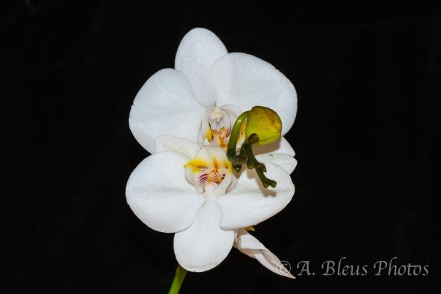 White Phalaenopsis Orchid_6718