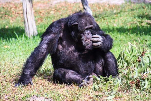 Chimpanzee_8414- Zoo Miami