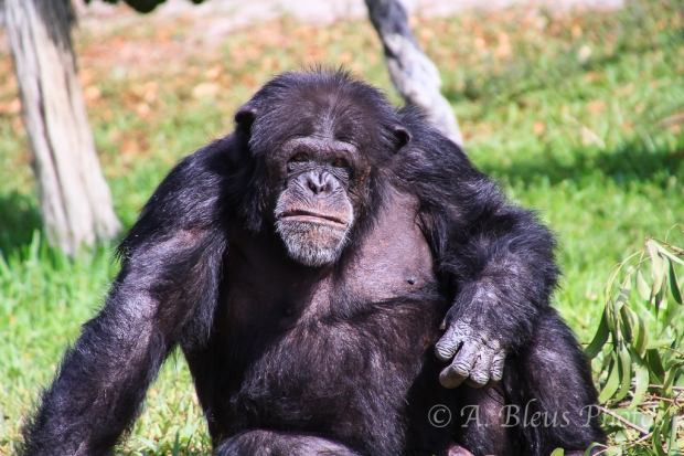Chimpanzee_8418- Zoo Miami