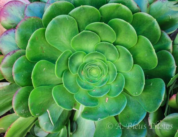 Green Succulent Jade Plant, California