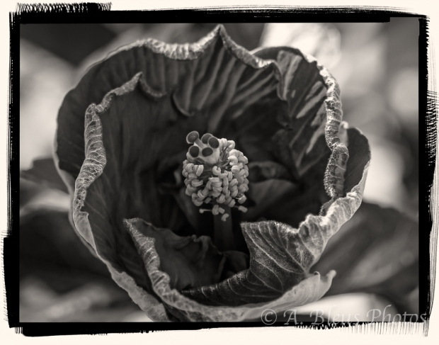 Hibiscus in B&W