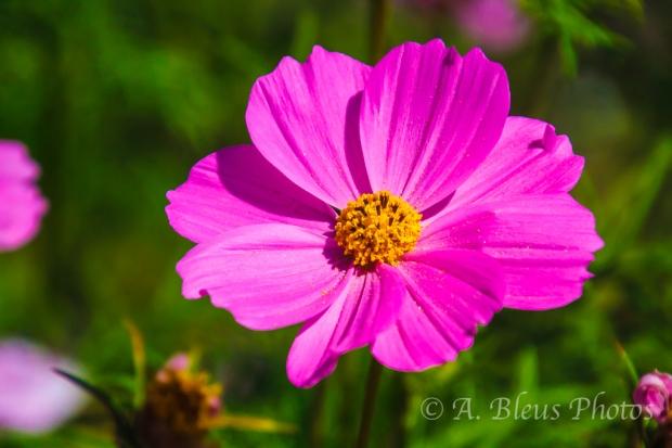 Mission San Juan Capistrano's Garden Flower , California_7312