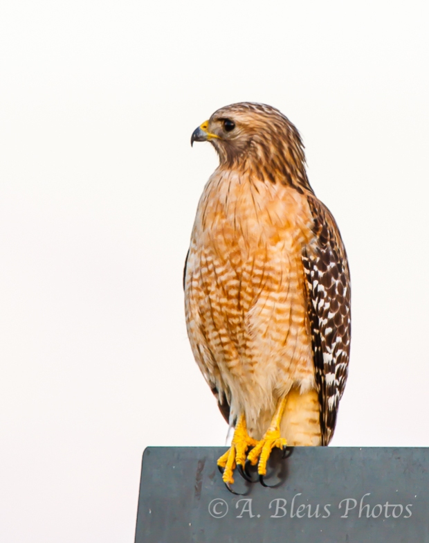 Perched Red-Shouldered Hawk_2883